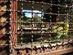 """Priso"" (victornascimento3) Tags: photo art pssaro gaiola jaula priso cadeia"