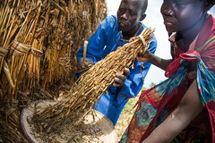 Drying sesame (FAOemergencies) Tags: fao food agriculture crops cultivation cultivators farmers farming fish foodsecurity sorghum aweil northernbahralgazal southsudan emergencies africa resilience groundnuts
