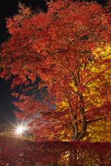 Lighting Maple (peaceful-jp-scenery (busy)) Tags: mtfuji lakekawaguchi autumn leaves leaf maple festival lighting momijikairo fuji5lakes kawaguchiko         sony 7r a7r ilce7r emount zeiss loxia250