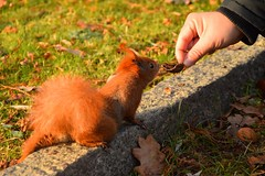 how could I resist... (JoannaRB2009) Tags: nut squirrel food feeding park closeup animal ginger autumn fall nature parkimksiciajzefaponiatowskiegowodzi d lodz polska poland