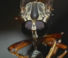 Robber fly Asilidae Airlie Beach rainforest P1150056 (Steve & Alison1) Tags: orange brown robber fly asilidae airlie beach rainforest
