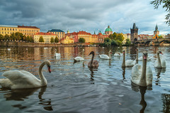 Swans on Vltava river in Prague, Czech Republic. Charles Bridge on the background (mayaafzaal) Tags: prague bridge charles swans swan vltava island kampa scenery river cruise republic czech lake white travel architecture view city europe tower town romantic blue boat