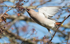 Waxwing reaching for berries (uusija) Tags: bombycillagarrulus waxwing bird linnut luonto nature tilhi