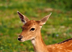 a young deer... (quarzonero ...Aldo A...) Tags: deer daino nature sunrays5 coth coth5