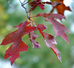 Northern Red Oak (Dendroica cerulea) Tags: northernredoak redoak quercusrubra quercus fagaceae fagales tree oak leaf red plant autumn highlandparkmeadows highlandpark middlesexcounty nj newjersey fav10