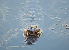 American Alligator (Alligator mississippiensis) (fisherbray) Tags: fisherbray usa unitedstates florida orangecounty orlando baylake disney waltdisneyworld wdw disneyworld nikon d5000 shadesofgreen resort hotel americanalligator alligatormississippiensis alligator gator