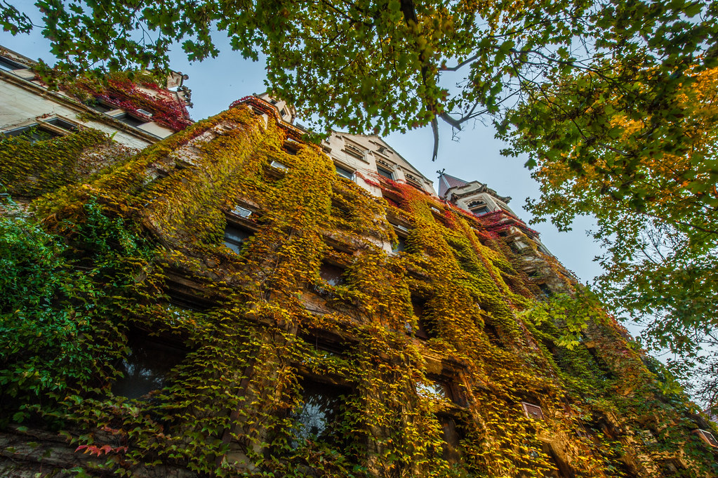 The beautiful ivy on the University of Chicago campus turned to autumn colors.