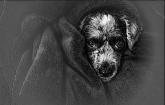 Bundled in a blanket (FotoGrazio) Tags: fineart portrait composition fotograzio face photoshop phototoart photography vignette lightroom canine nose waynesgrazio photoeffect texture waynegrazio phototopainting painterly smartphonephotography fur portraiture pet topaz eyes dog artofphotography cellphonephotography animal blackandwhite photomanipulation art
