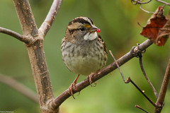 White-throated Sparrow - Oct-30-2016 (82-1) (JPatR) Tags: 2016 500mmf4 autumn canon7dmarkii fall illinois october tylercreekforestpreserve whitethroatedsparrow bird nature sparrow wildlife
