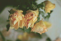 v a n i t a s * (Wolf's kurai) Tags: wolfskurai canon photography stilllife vanitas roses death love skul languageofflowers