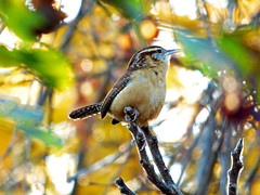 Carolina Wren (CAWR) Thryothorus Iudovicianus (kevingilesbirds) Tags: carolina wren perched leaf colors colours bright vivid pishing pish bird birding ornithology cawr thryothorus iudovicianus photo pic picture photograph photography november 2016 17 flickr ebird kevin giles fall autumn silver lake ontrio canada port dover rainbow colourful