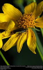 Yellow-sided Flower Buprestid (Buprestidae, Acmaeodera flavomarginata) (insectsunlocked) Tags: coleoptera buprestidae acmaeodera acmaeoderaflavomarginata aflavomarginata