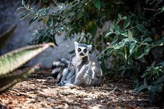 Liked it. Put a ring on it. (Pat Charles) Tags: lemurcatta ringtailedlemur lemur primate zoo melbourne victoria australia nikon madagascar kingjulian melbournezoo animals animal wildlife pose