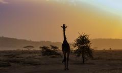 Silhoutted Giant, Serengeti National Park, Tanzania (Poulomee Basu) Tags: giraffe savannah sunset sunsethues sunsetsighting tanzania africa adventure wild wildlife wilderness wildafrica wildlifehaven wildlifephotography wildlifephotographer giant africagiant silhouette serengeti safari safarilovers nikon nikond90 nikond90users beauty tranquil photography travel travelgram shadows