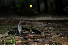 IMG_1180-1(W) Malayan Spitting Cobra (Naja sumatrana) (Vince_Adam Photography) Tags: reptilia reptiles snake snakes elapid elapidae naja oviparous neurotoxin venomous deadly fatal necrosis ularsenduk ularsenduksembur ularbelalang nguhaotongponpit ular ularberbisa bisa maut herps herping hepertology herpetologist herp nightherping nightmacro macro malaysianforest housingestates venomoussnakesofmalaysia snakesofmalaysia snakesofsoutheastasia snakesofasia najasumatrana peninsularmalaysia wildlifeofmalaysia reptilesofmalaysia blackspittingcobra malayanspittingcobra goldenspittingcobra orsumatranspittingcobra equatorialspittingcobra