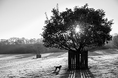 Park.Frost.WEB-8 (LazenbyVisuals) Tags: frost winter cold sun sunrise dog puppy cocker spaniel walk walking tree oak helmsley yorkshire north