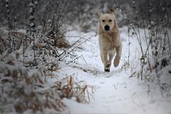 First Snow (clé manuel) Tags: winter snow animal dog golden retriever action shot playing hund running schnee canon fd sonyalpha 50mm analogue
