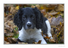 Bonnie (Seven_Wishes) Tags: newcastleupontyne elswickpark autumn autumnal leaves dof depthoffield pet dog puppy spaniel springerspaniel englishspringerspaniel bonnie blackandwhite canoneos1dmarkiv canonef100400mmf4556lisii jo outdoor photoborder animal