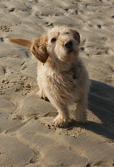 DSC02682 (2) (gdw1969) Tags: basset fauve de bretagne beach ross dog pet