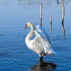 (Alain Bachellier) Tags: ballade banlieueparisienne cygne environnement etang grigny lac nature promenade