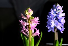 2016-12-04 Hyacinthus (Fadıl Çıtılo) Tags: pinkflower lilacflower efs60mm f28 hyacinthus