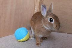 Ichigo san 489 (mensore) Tags:  rabbit bunny netherlanddwarf brown ichigo
