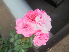 100 (en-ri) Tags: roselline little roses sony sonysti foglie leaves rosa verde