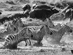 Galloping (eliasc64) Tags: africa serengeti tanzania travel safari zebra seronera mararegion tz