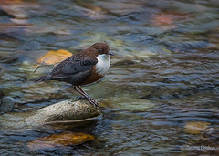 Dipper in the River (JKmedia) Tags: wales northwales boultonphotography 2016 autumn dipper river feathers bird avian beddgelert nature wildlife stones motion flowing