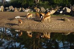 Reflecties. (limburgs_heksje) Tags: nederland niederlande netherlands noord brabant beekse bergen safaripark dierenpark