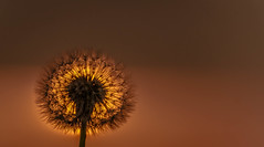 Dandelion sunset (zoomleeuwtje) Tags: dandelion sunset plant