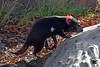 Tasmanian Devil, Copenhagen Zoo (JohntheFinn) Tags: copenhagen kööpenhamina euroopa europe scandinavia skandinaavia pohjoismaat nordic zoo eläintarha tasmaniandevil pussiahma marsupial pussieläin