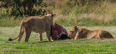 One steak for two ! (Renzo Ottaviano) Tags: sterkfonteindma gauteng sudafrica south africa renzo lorenzo ottaviano lion lions lioness
