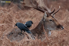 Friends for lunch (Dom Greves) Tags: behaviour bird corvid corvusmonedula damadama fallowdeer jackdaw mammal mutualism parkland richmondpark uk wildlife december winter london