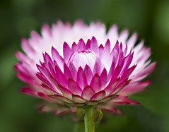 Flower alignment (Roniyo888) Tags: aligned alignment strawflower white pink magenta green background