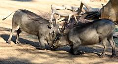 Warthogs -  On their knees (Pix.by.PegiSue>Thx 4 over 5M+ views! See my Albums) Tags: pixbypegisue fresnochaffeezoo fresno fresnoca california canon animals zoo animalesexóticos desanimauxexotiques endangered flickr nature ngc natureza public roadtrip safari tourist touristspot travel visitthezoo wildlife wild exoticanimals zoos zooanimals zoophotography wwwflickrcomphotospixbypegisue warthogs wildpig animal