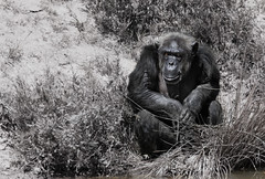 Thinking about the meaning of life (Artefax Jericho) Tags: life 42 meaning thehitchhikersguidetothegalaxy hhgttg hg2g chimpansee