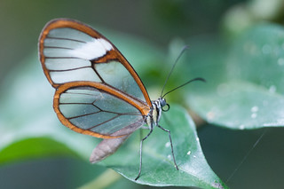 Pteronymia artena (?) butterfly