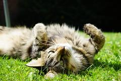 Garden chilling (Jenny.Lawrence) Tags: cats pets animals mavis