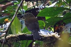 OLIVACIOUS PIHA (Aquila-chrysaetos) Tags: colombia southamerica neotropics neotropical andes snoworniscryptolophus birds aves