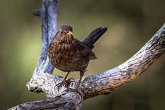 20130428_105731-3.jpg (jussidimitrijeff) Tags: bird canon blackbird vantaa