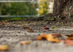 Autumn yield (lensflare82) Tags: autumn fall nature automne canon eos leaf bokeh outdoor decay herbst natur otoo yield blatt amateur autunno beginner castaa ernte lightroom anfnger kastanie verfall aesculus hippocastanum marronnier tiefenschrfe rosskastanie lr6 castagno 700d