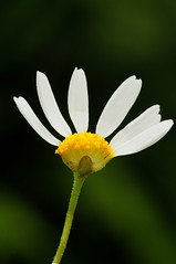 Anthemis cotula. Stinking Chamomile. (All Botanical Photography) Tags: white weed asteraceae smelly whiteflowers stinks arable anthemiscotula stinkingchamomile