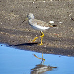Greater Yellowlegs thumbnail