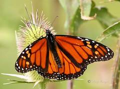Monarch Butterfly_5 (sh10453) Tags: usa michigan crosswindsmarshconservatory