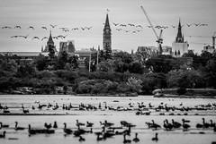 Morning Migration : October 6, 2015 (jpeltzer) Tags: fall birds geese ottawa migration ottawariver