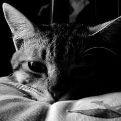 pepé (archifra -francesco de vincenzi-) Tags: portrait bw cat square chat retrato gato katze 猫 gatto ritratto carré кот γάτα قط archifraisernia francescodevincenzi