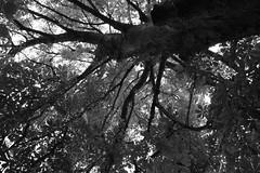 Marronnier dans le parc du Moulin des Princes  Pont-Scorff (Bretagne, Morbihan, France) (bobroy20) Tags: france nature bretagne arbre morbihan feuille tronc branche marronnier feuillage scorff pontscorff parcdumoulindesprinces