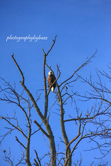 Glenwillow Bald Eagle (rikki500) Tags: trees ohio usa fall birds photography unitedstatesofamerica baldeagles canonrebelxti glenwillow photographybybuzz