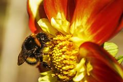 Bumblebee (TrotterFechan) Tags: dahlia bumblebee